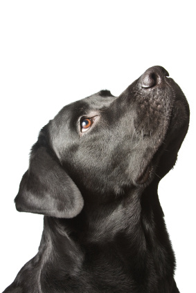 The dog black labrador looks upwards. isolated on white