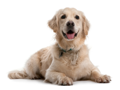 Golden Retriever, 4 years old, lying in front of white background